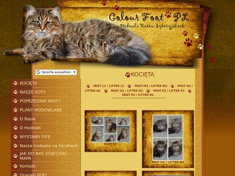 Koty syberyjskie kocięta syberyjskie