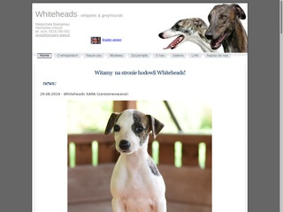 Whiteheads - whippet i greyhound